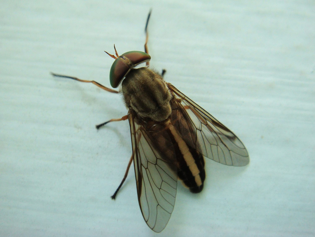 Download this Description Striped Horse Fly picture