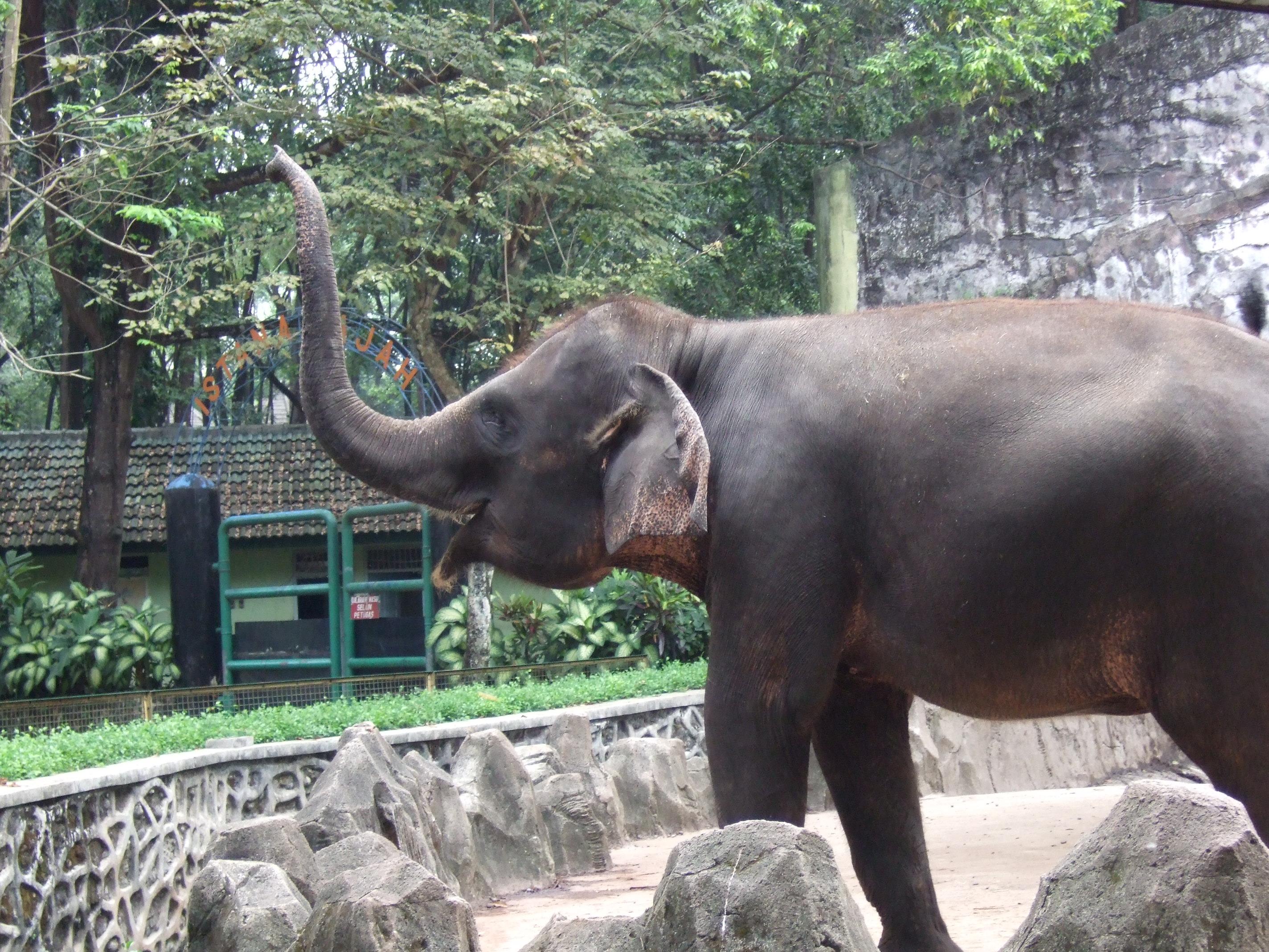 Description Sumatran elephant Ragunan Zoo JPGSumatran Elephant