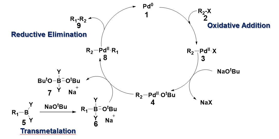 Suzuki Transmetalation Mechanism