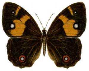Sword-grass Brown Butterfly