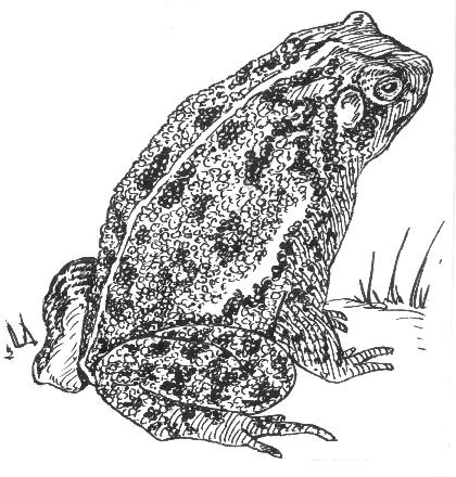HENRIETTA: Public Toad
