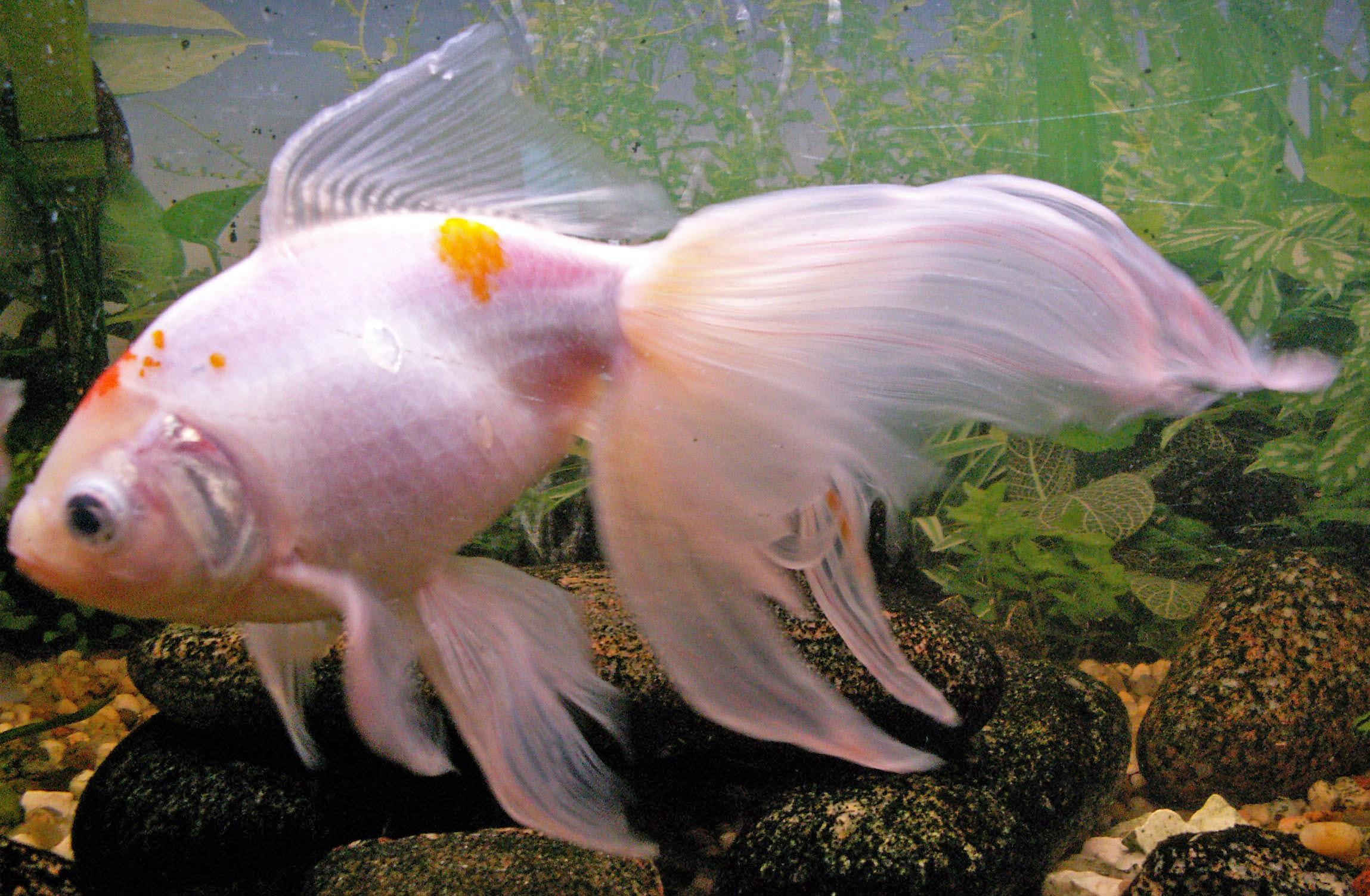Domesticgoldfish home for Aquarium poisson rouge sale