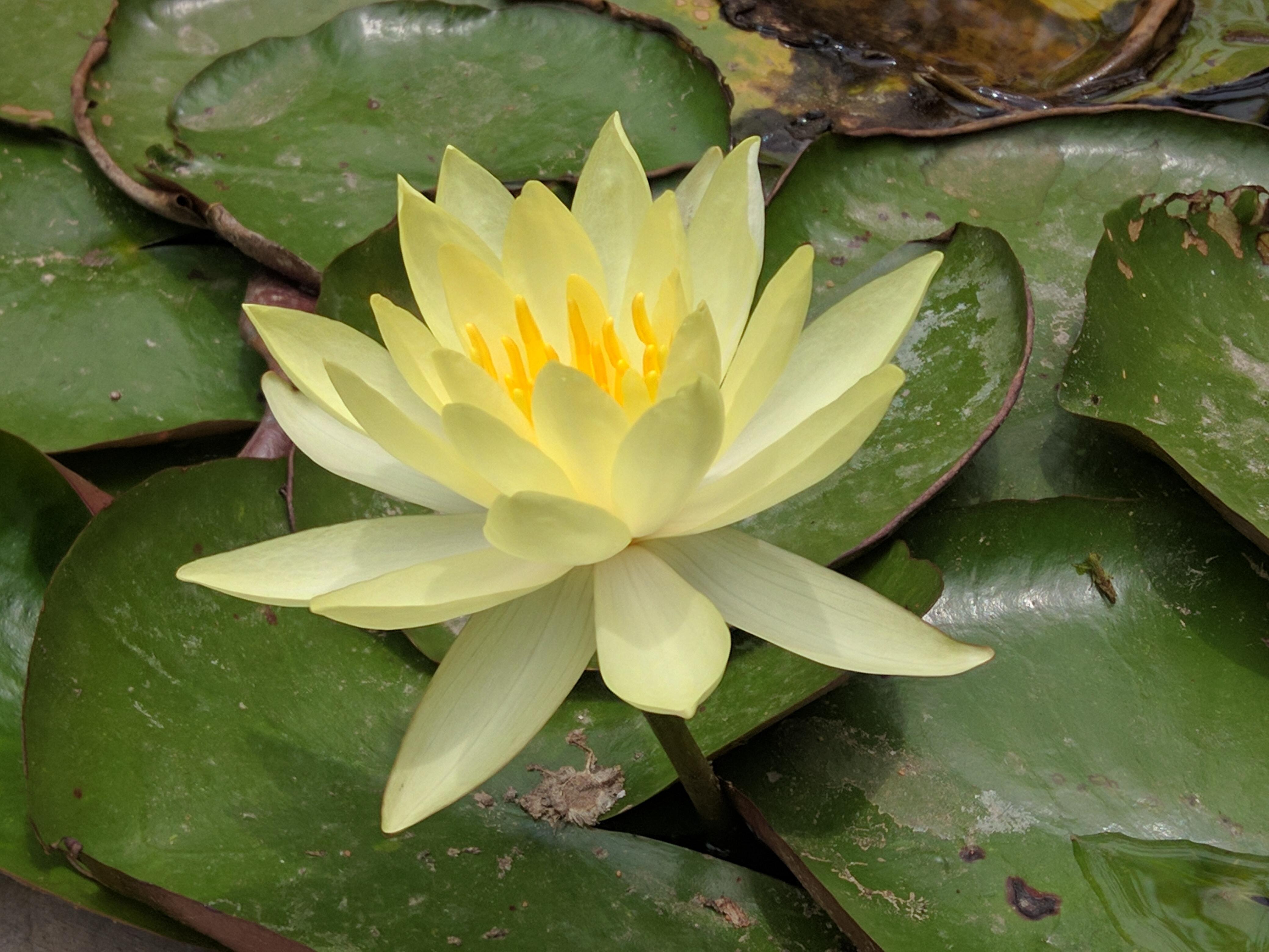 Fileyellow Lotusg Wikimedia Commons