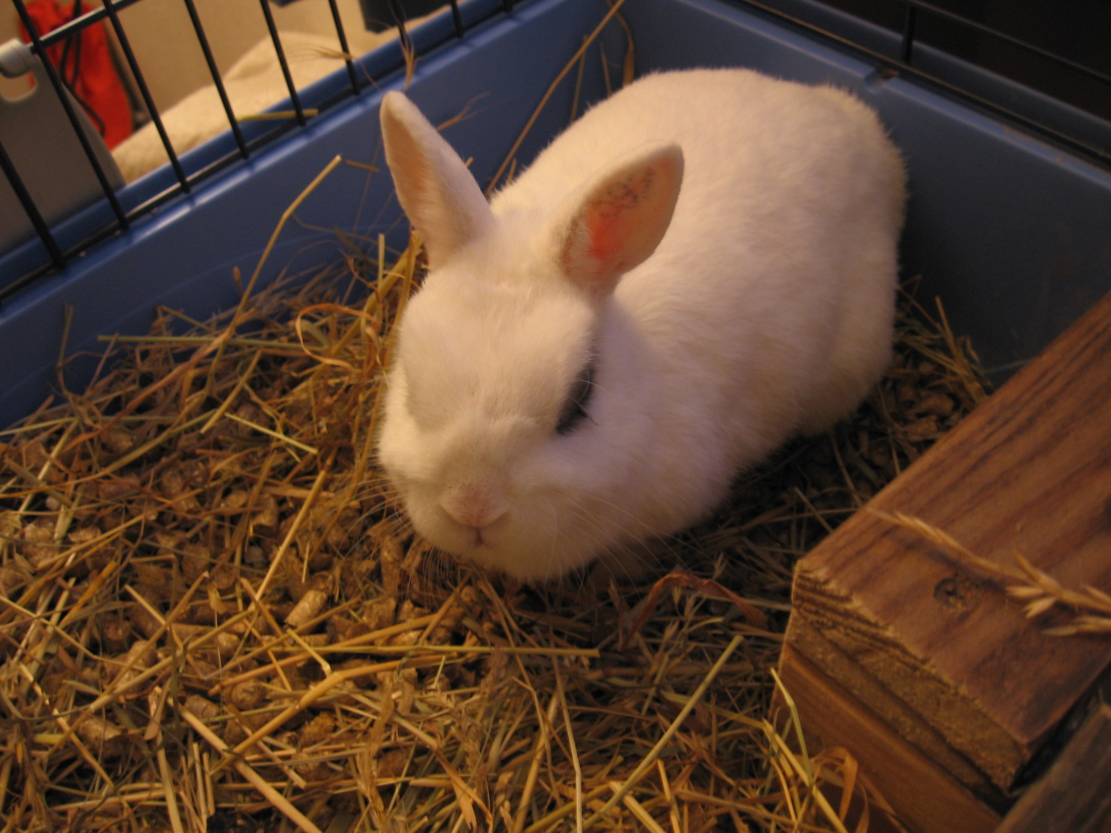 A Netherland dwarf rabbit called Magda