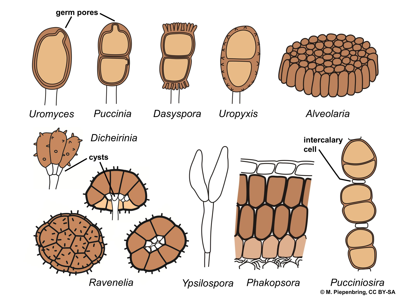Basidiomycota >> Basidiomycetes >> Puccinales