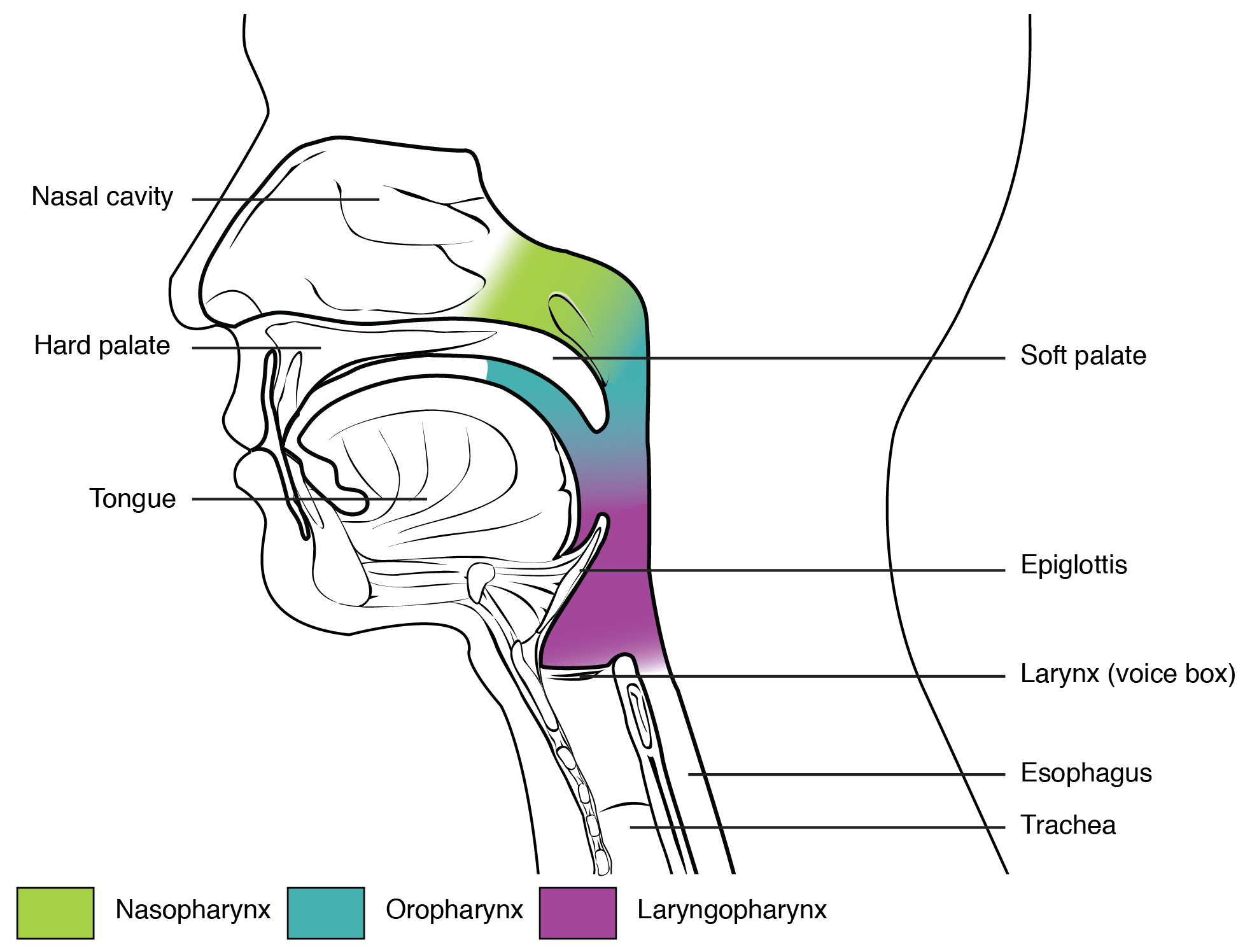 File:2305 Divisions of the Pharynx.jpg - Wikimedia Commons