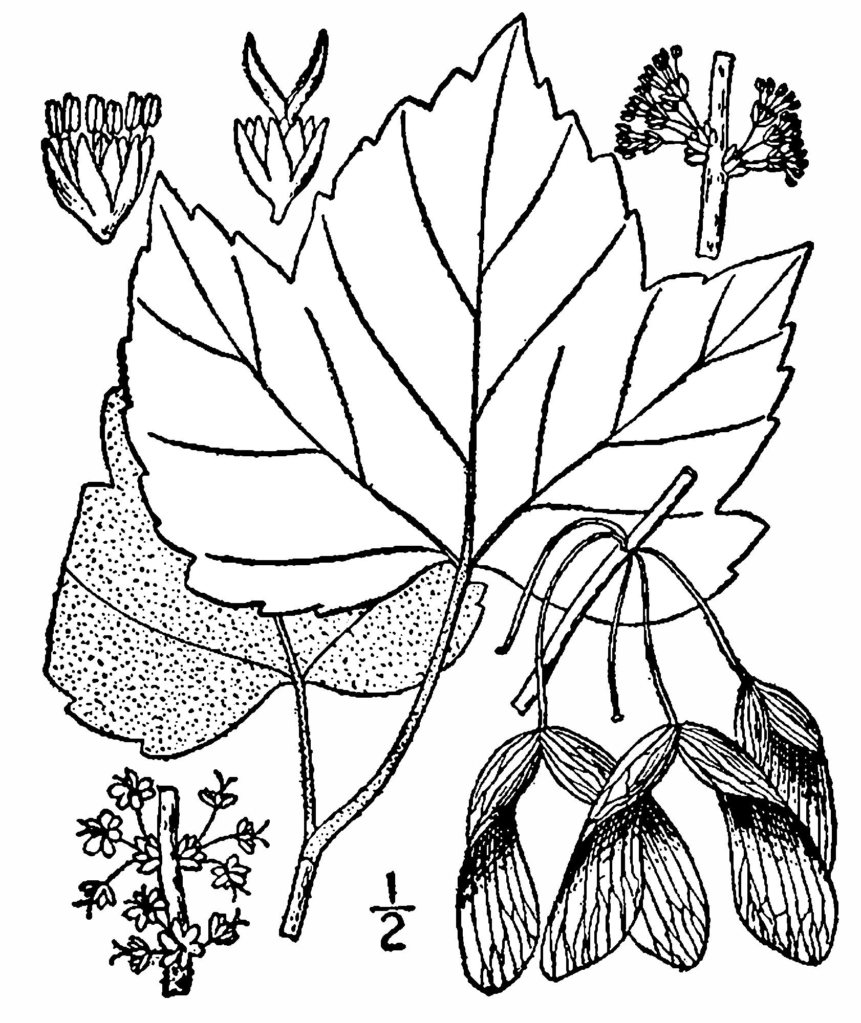 File Acer rubrum drummondii drawing Wikimedia mons