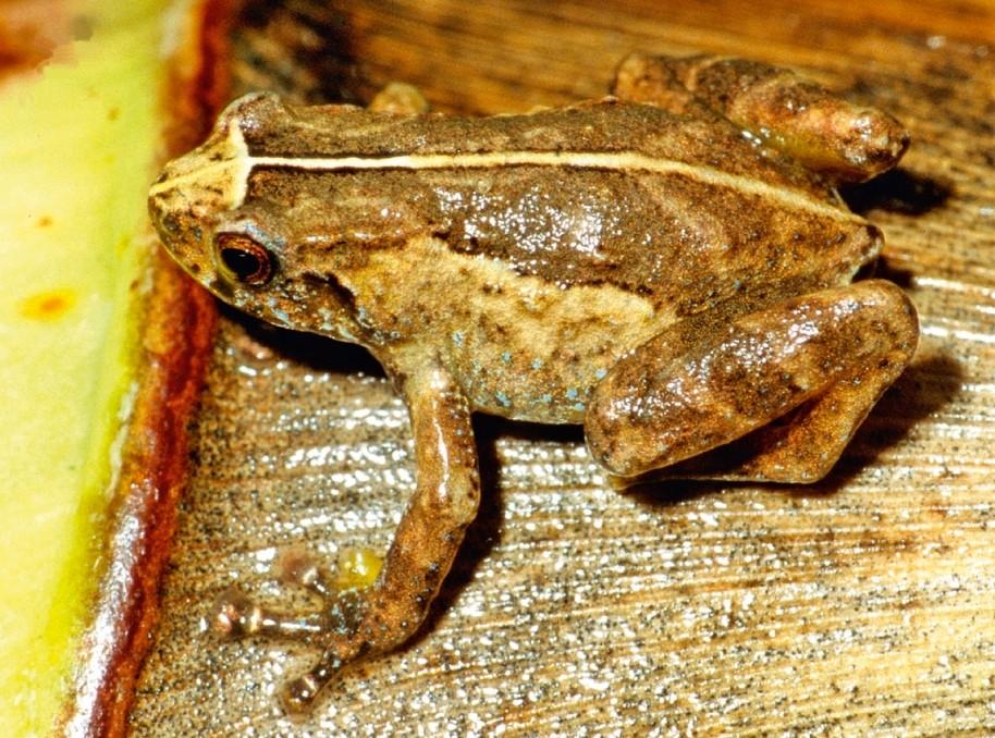 File:Anodonthyla jeanbai04.jpg - Wikimedia Commons