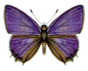 <i>Anthene seltuttus</i> species of insect