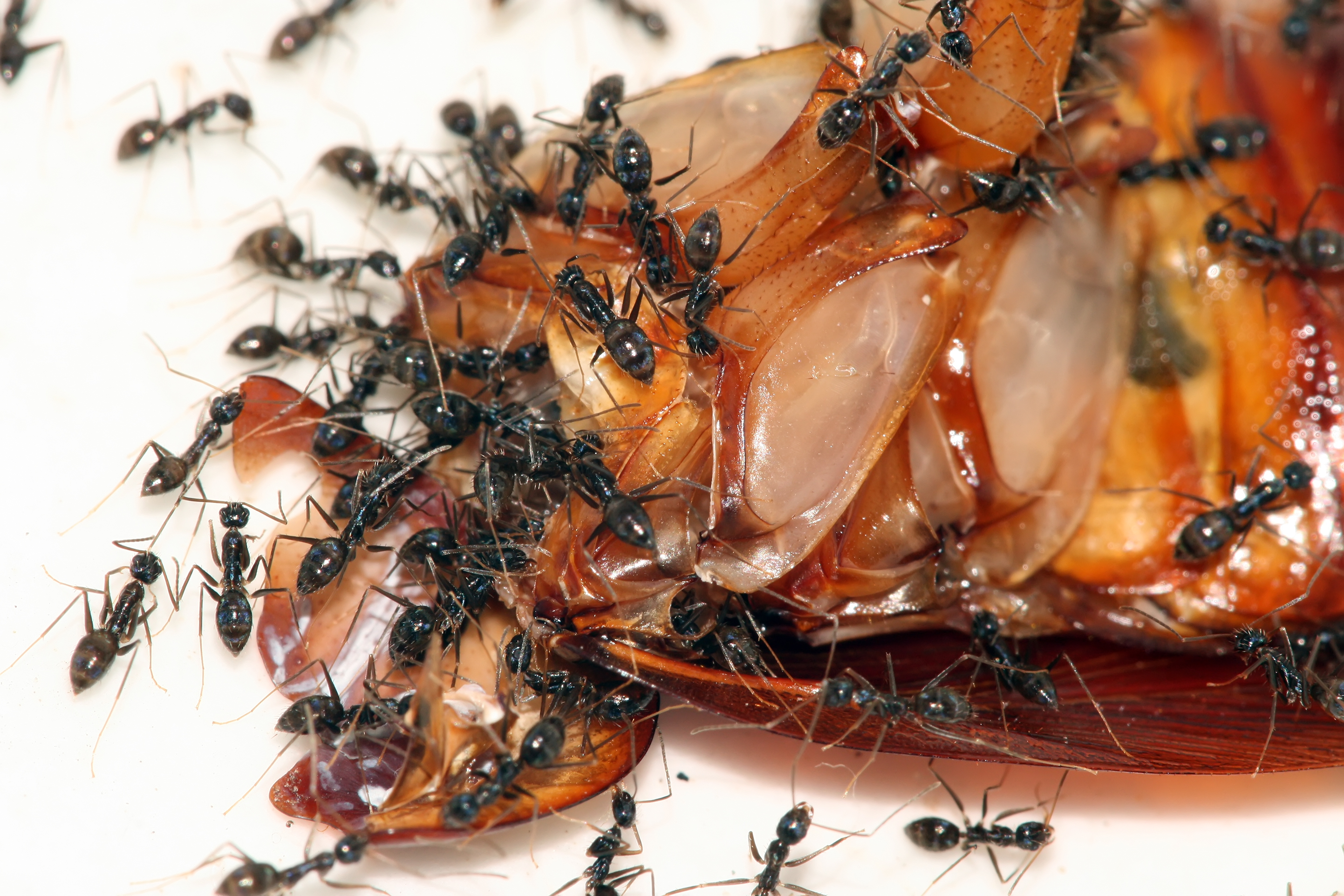 Cockroaches Eating Food