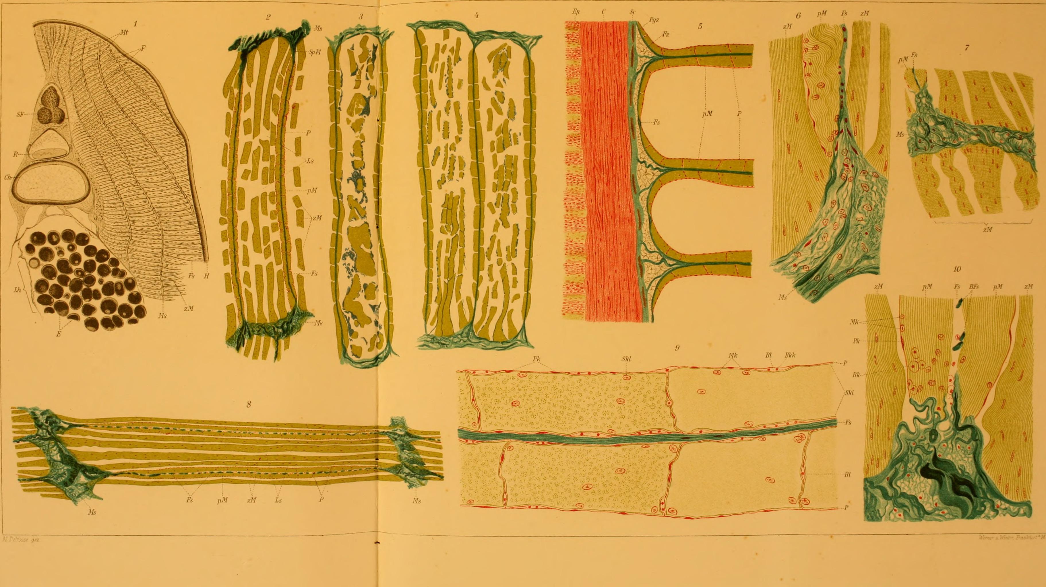 File:Archiv für mikroskopische Anatomie (1911) (20141966328).jpg ...