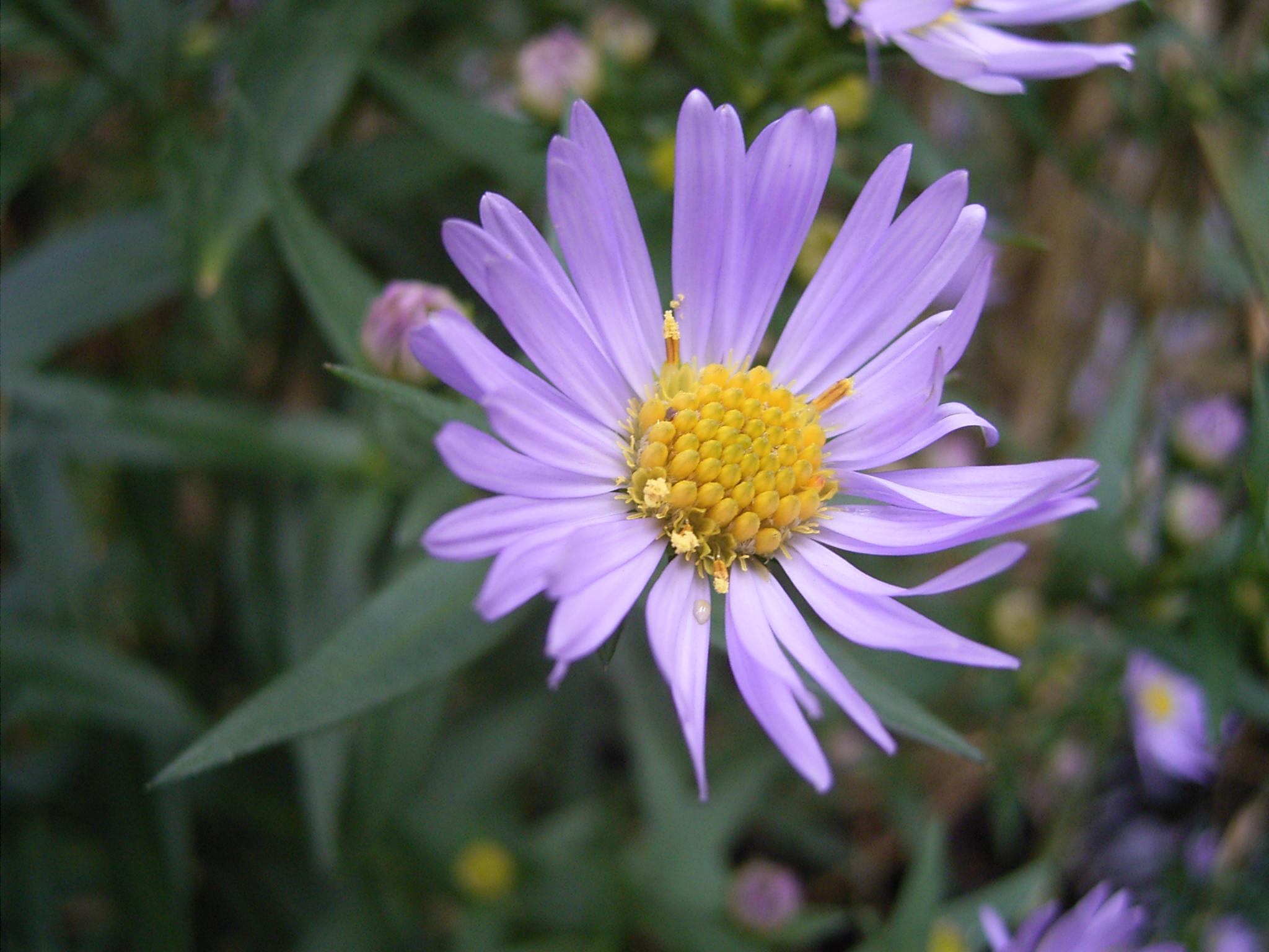 File AsterNovi belgii flower 1mb Wikimedia mons