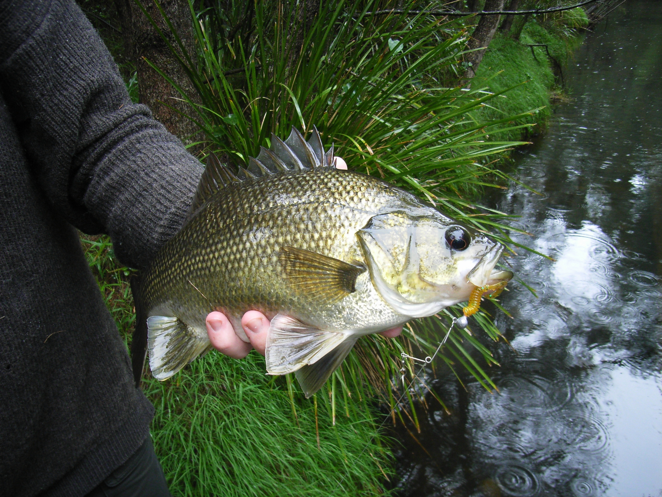 File australian bass for Bass fish pictures