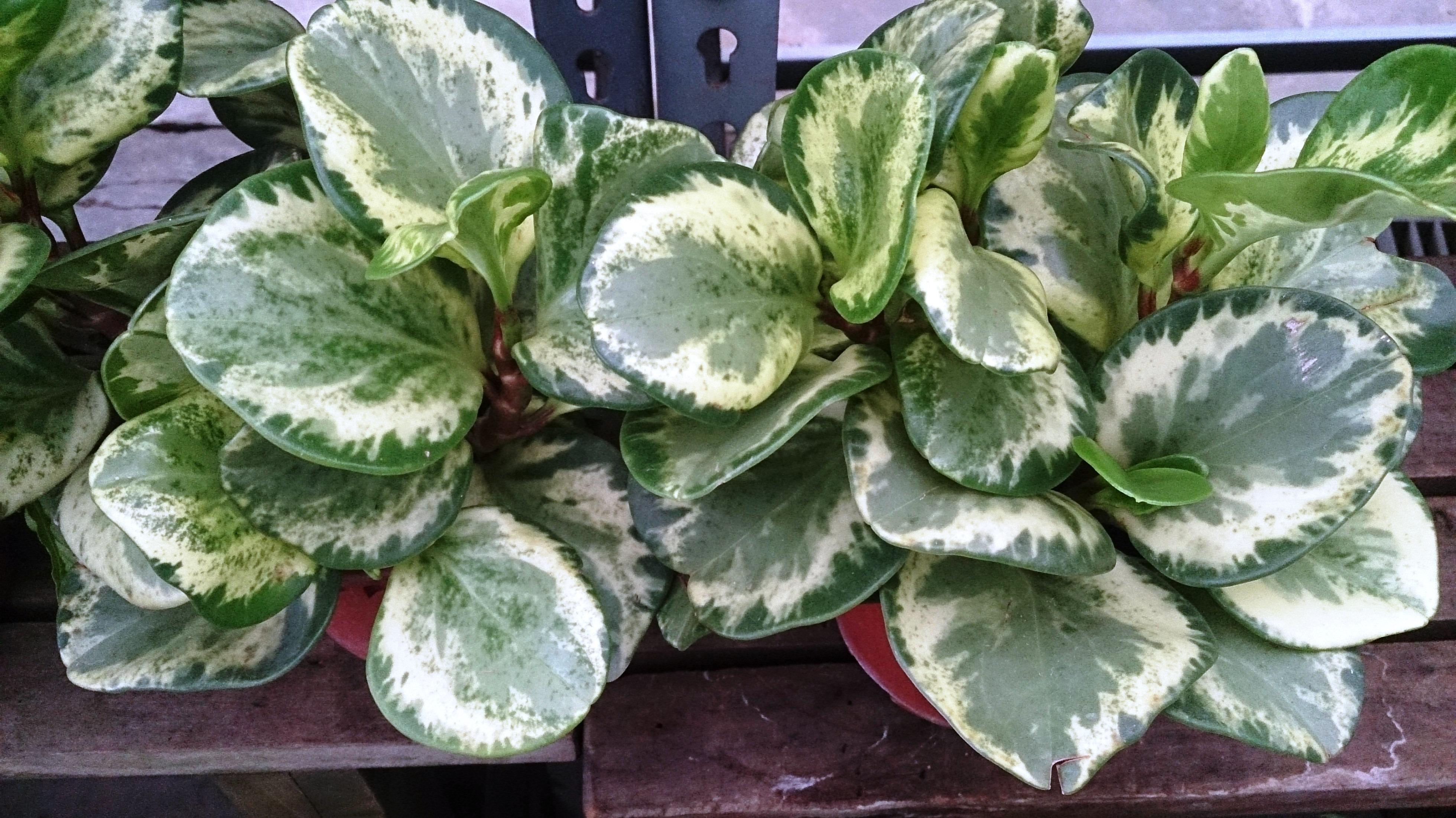 File:Baby Rubber Plant (Peperomia obtusifolia 'Variegata').jpg - Wikimedia  Commons