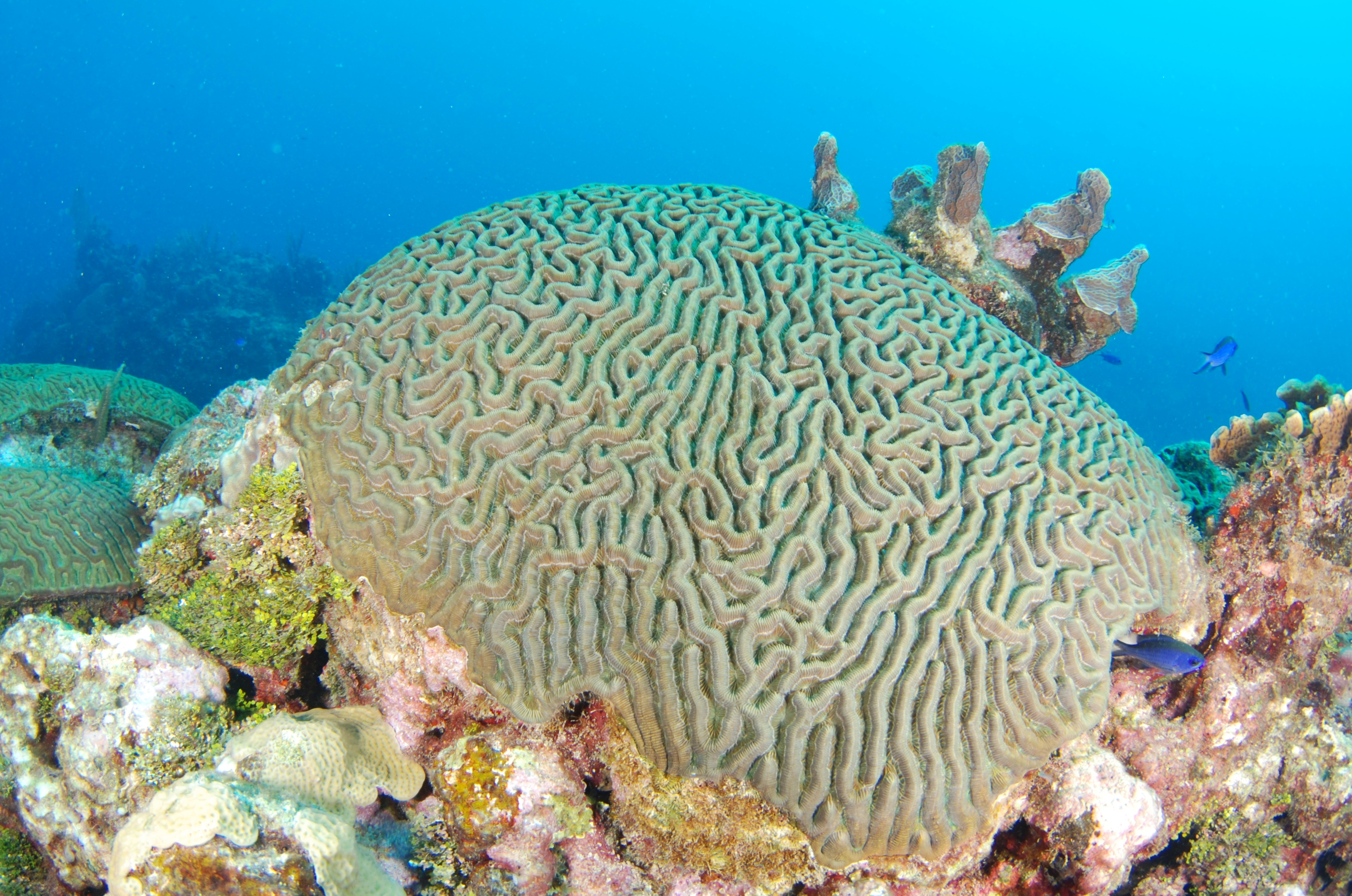 File:Briann coral2.JPG - Wikimedia Commons