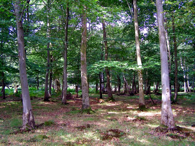 Broadleafed woodland in summer, Parkhill, New Forest - geograph.org.uk - 210761