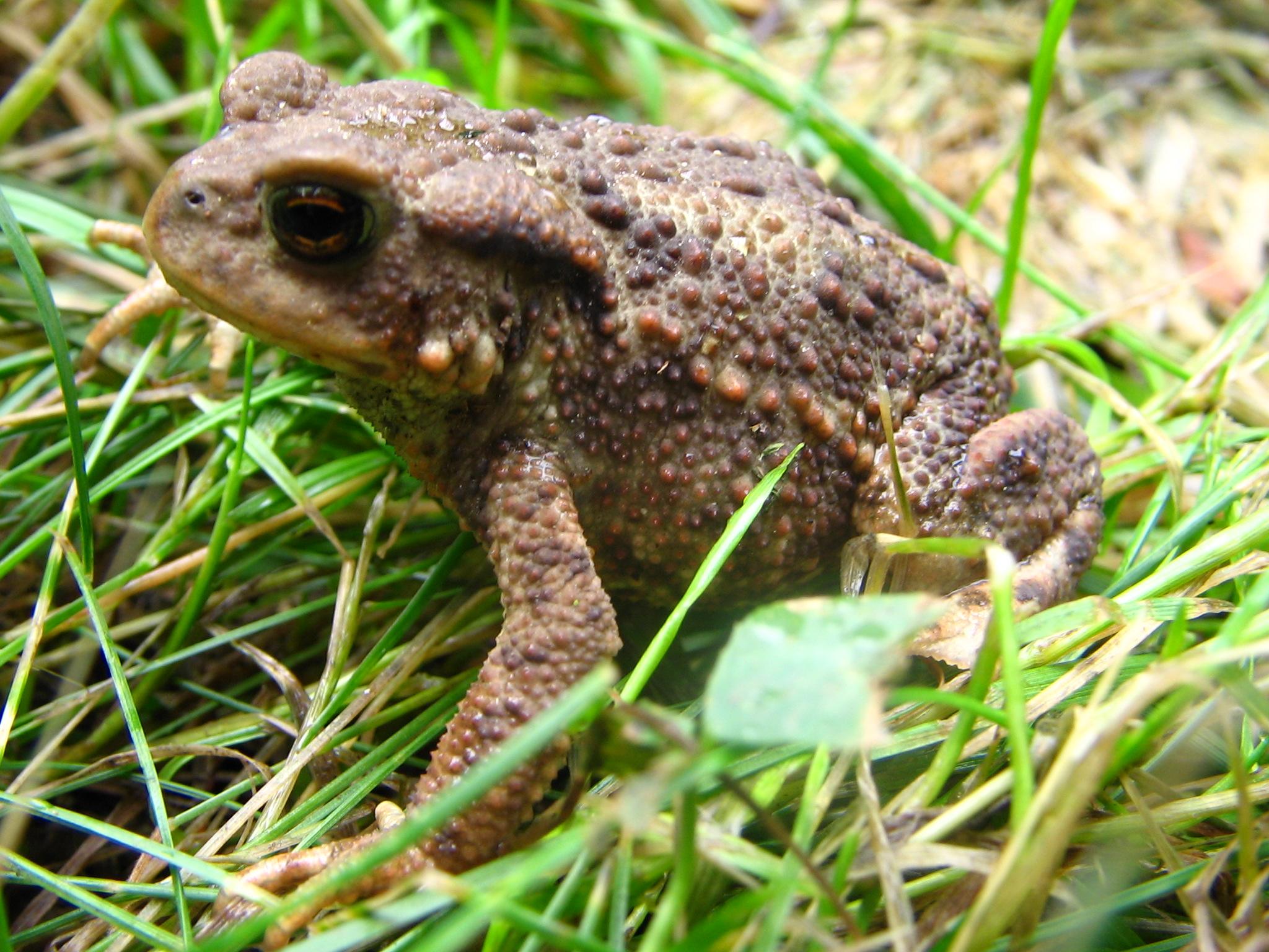 живорождение серая жаба
