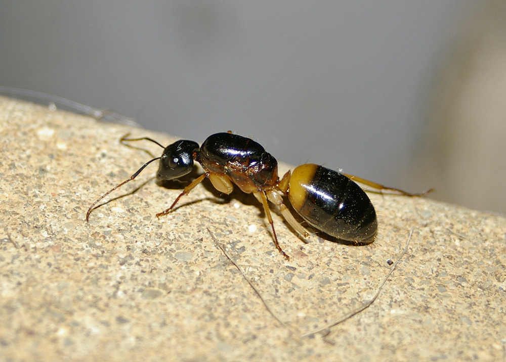 File:Camponotus consobrinus queen.jpg - Wikimedia Commons