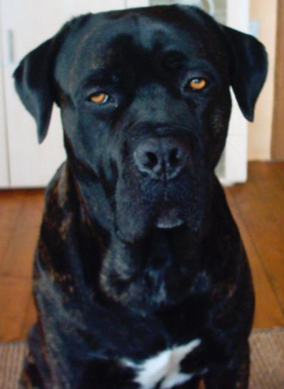Large Black Guard Dog Required