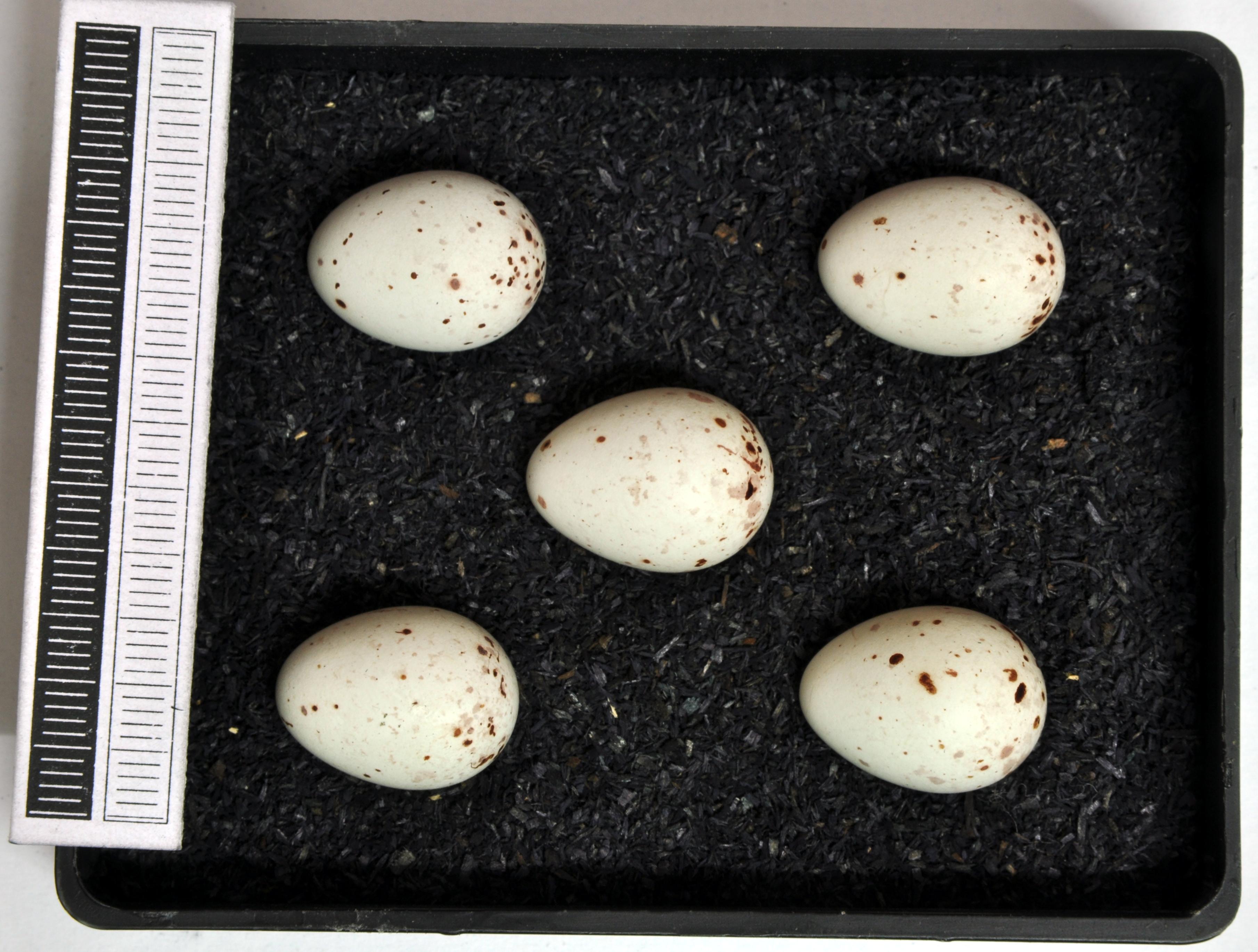 Grünfink Eier Gelege