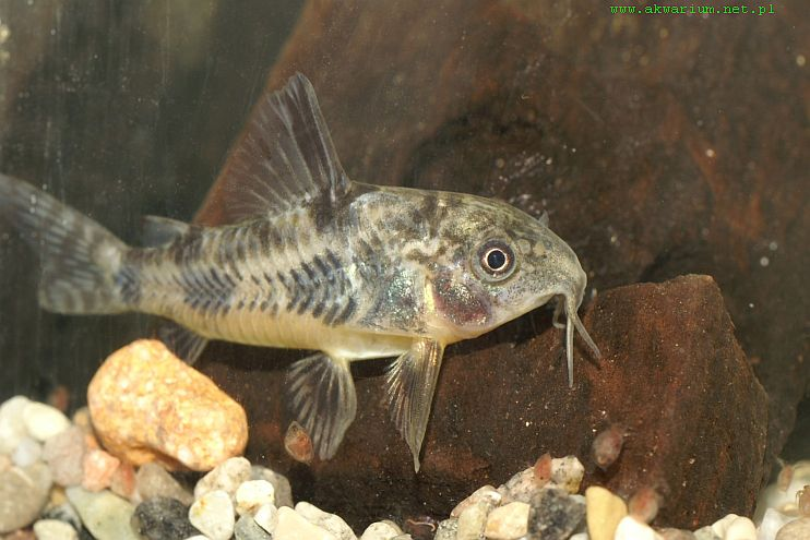 This is a peppered cory right my aquarium club for Cat goes fishing wiki