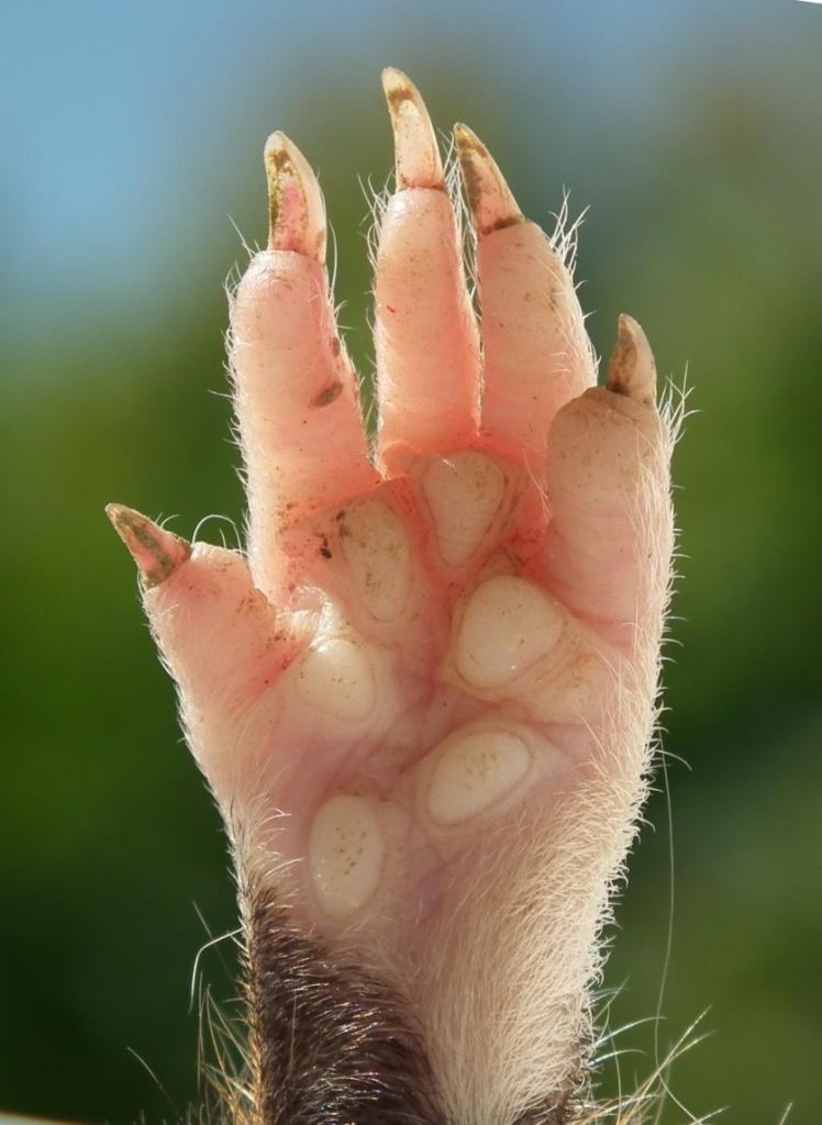 Pes (anatomia) – Wikipédia, a enciclopédia livre