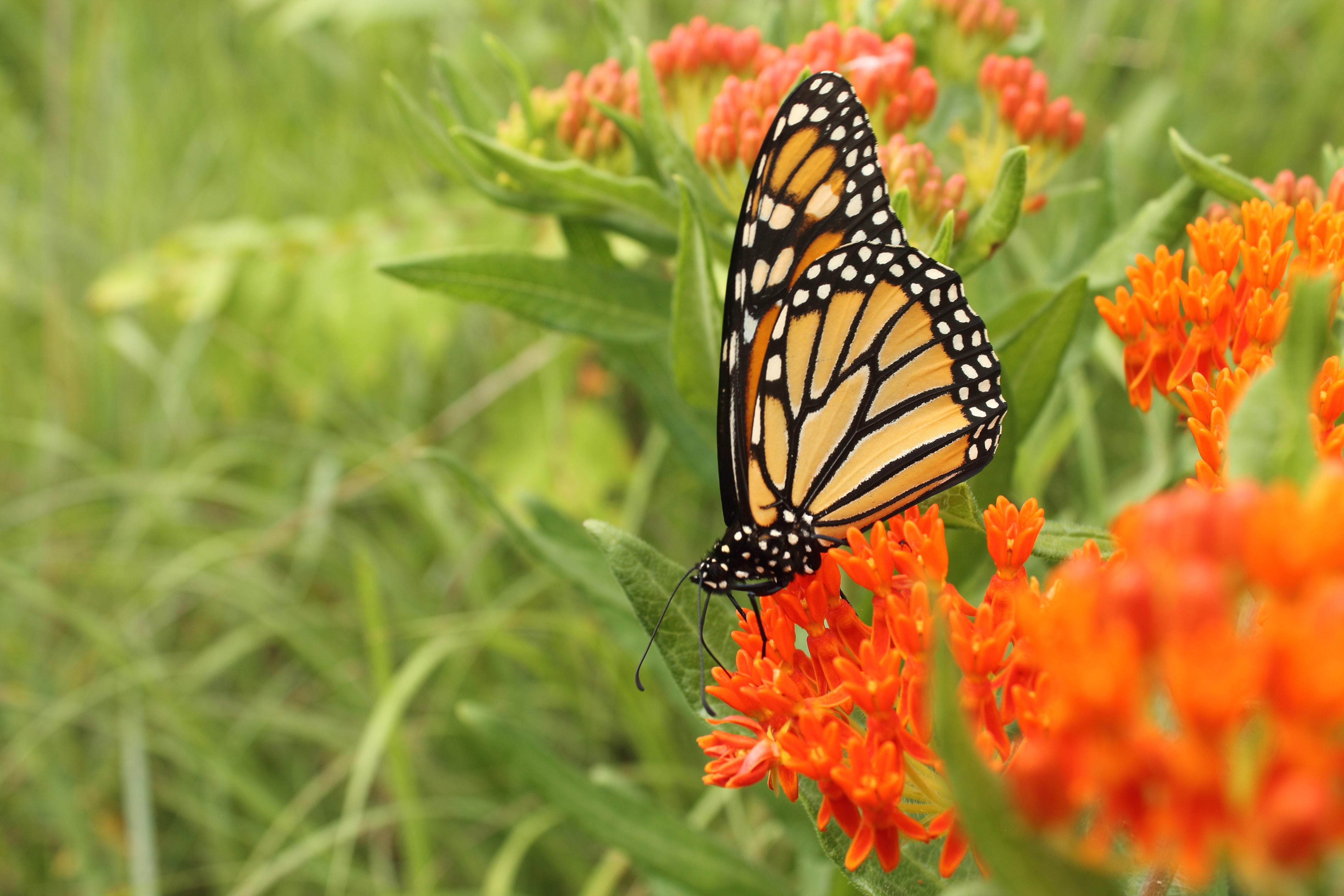 Butterfly Gardening Wikipedia