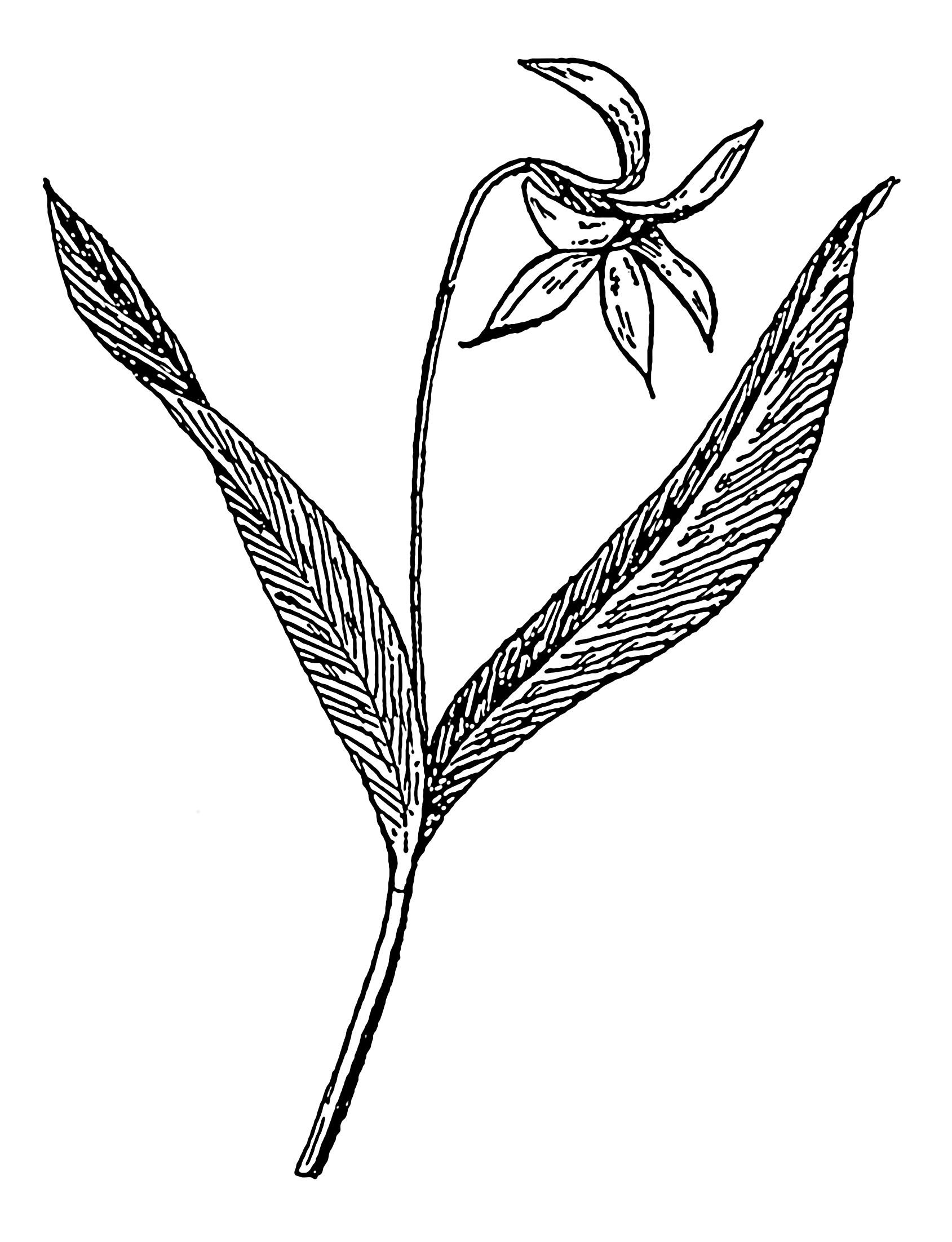 Line Drawing Violet : File dogtooth violet psf wikimedia commons