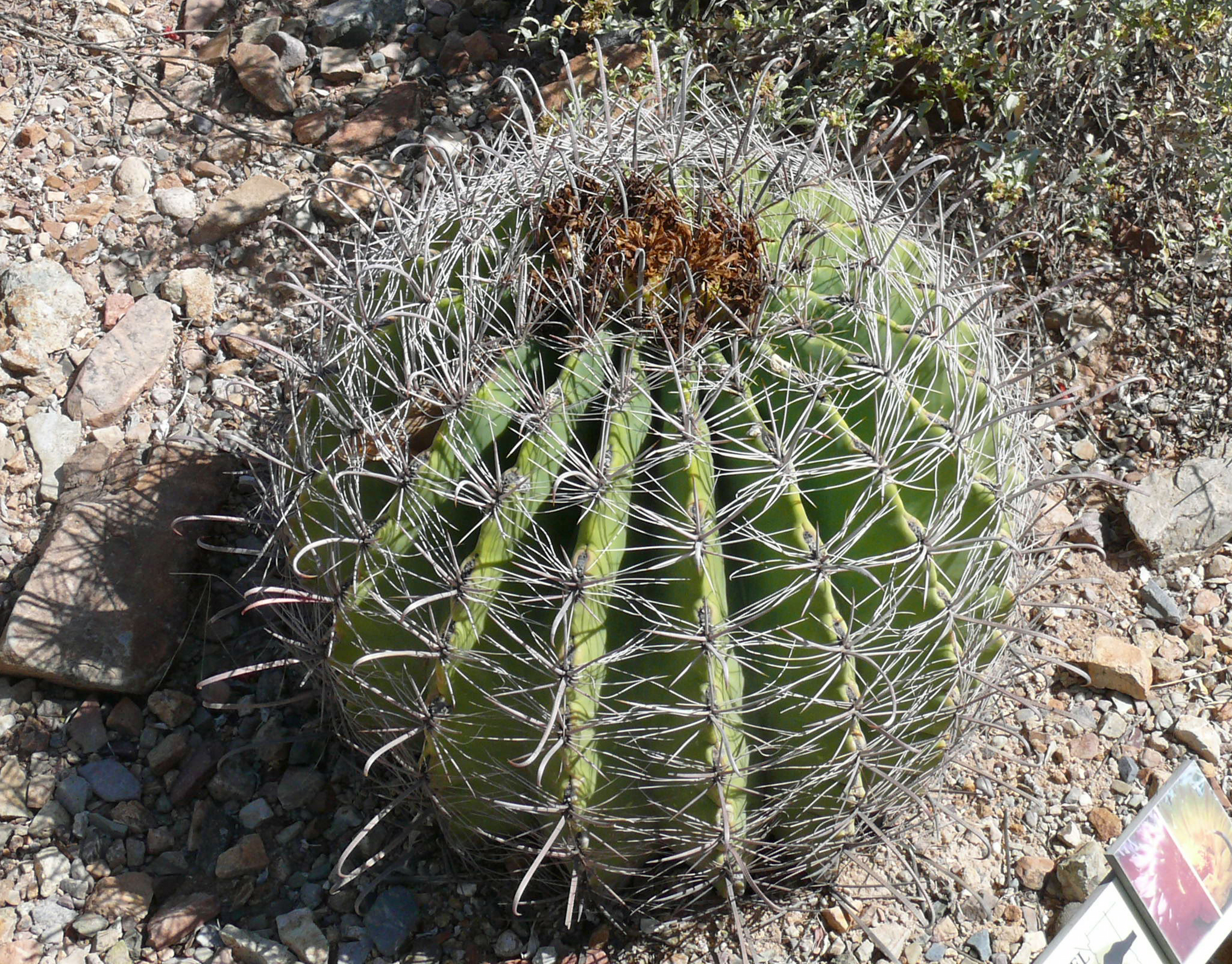 file fishook barrel ferocactus wikipedia