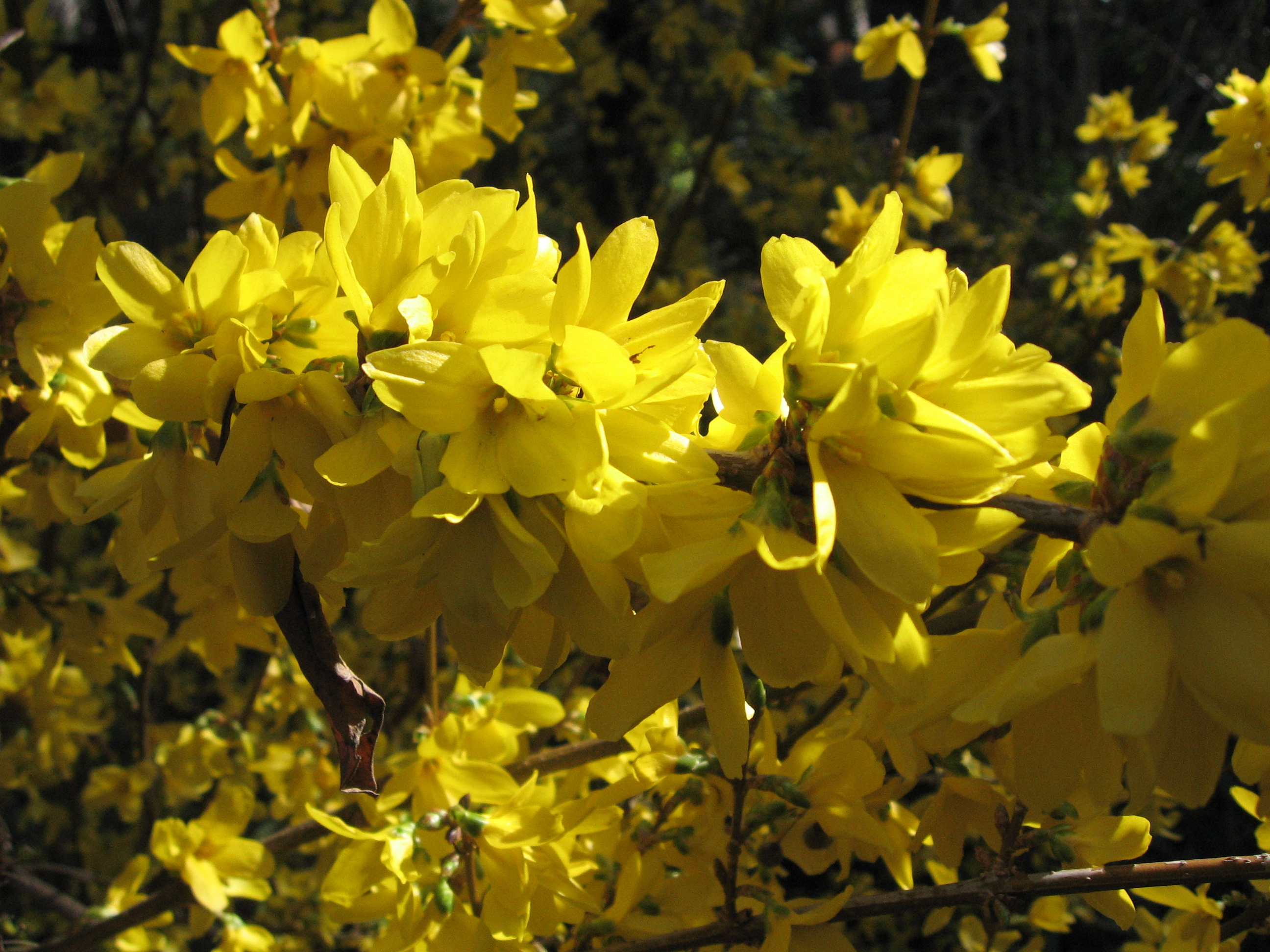 File forsythia x intermedia - Forsythia x intermedia ...