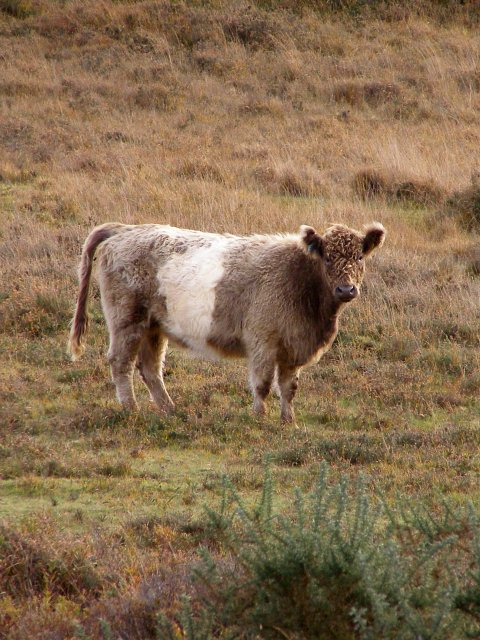 File:Furry cow, Millersford Bottom, New Forest - geograph ...