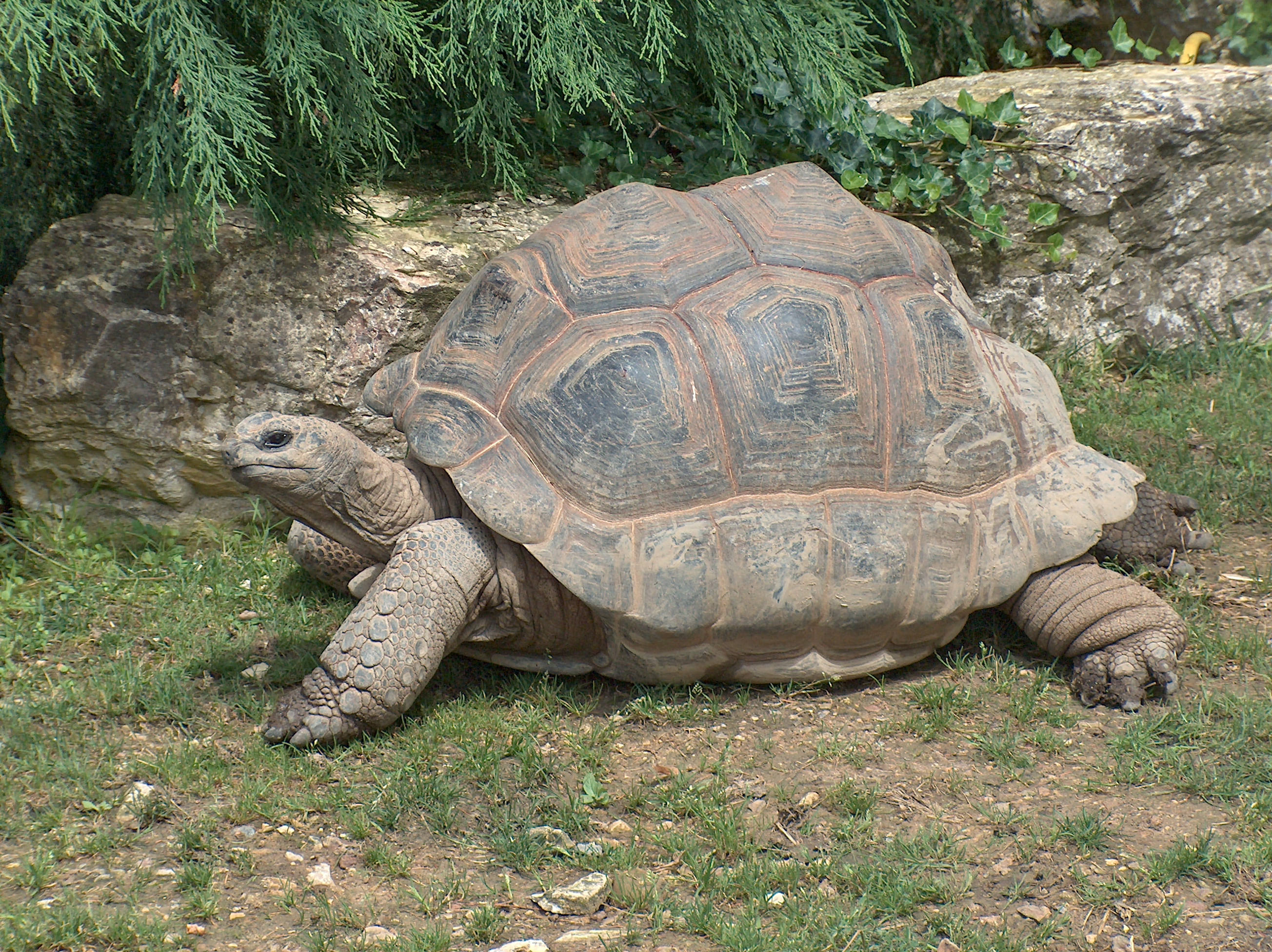 Член черепахи википедия