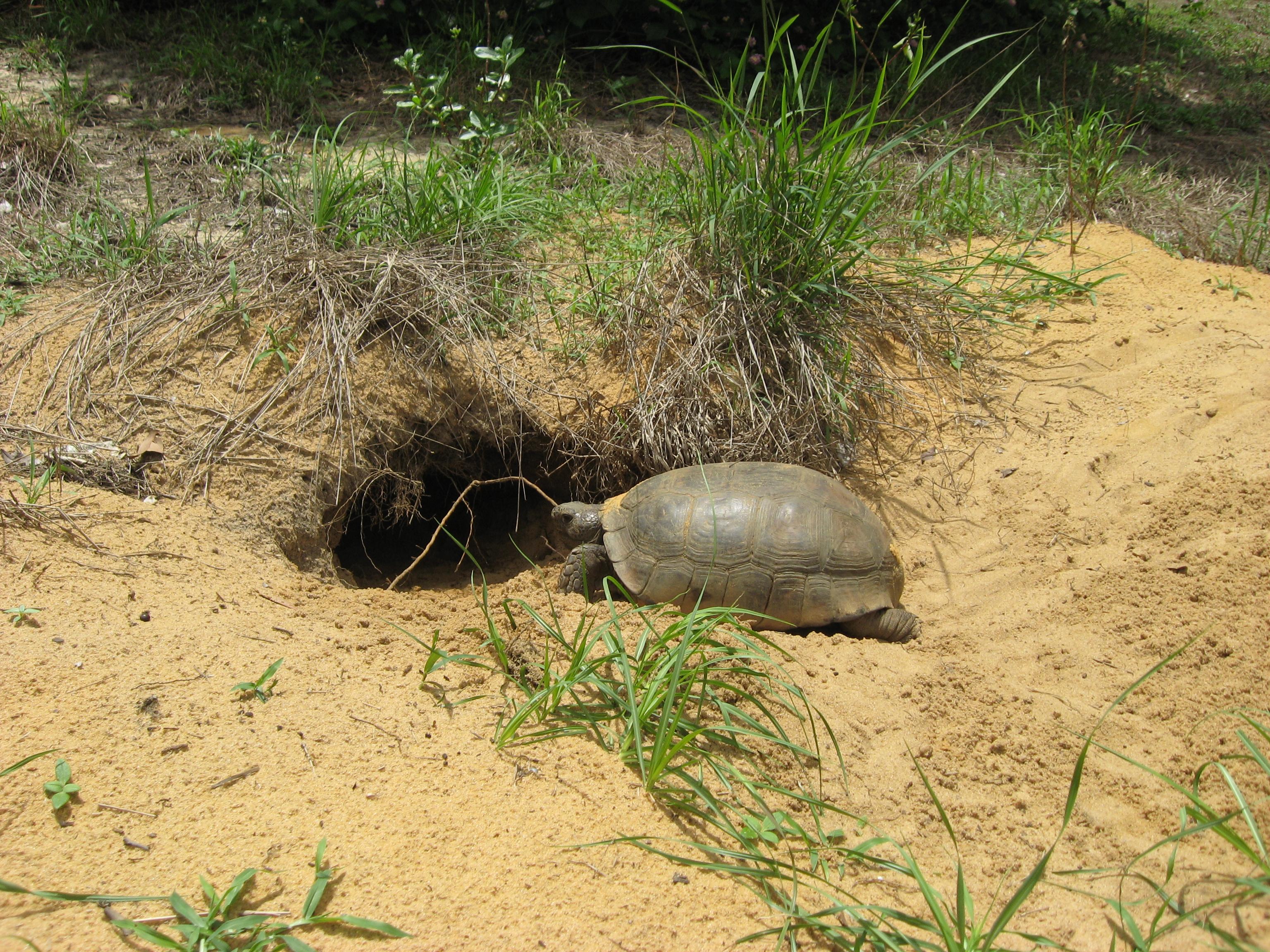 file gopher tortoise entering burrow jpg wikimedia commons