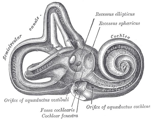 Modiolus (cochlea) - Wikipedia  Inner