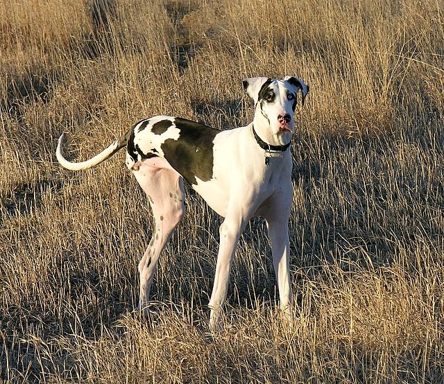 Brown Harlequin Great Dane