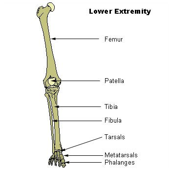 Illu lower extremity.jpg