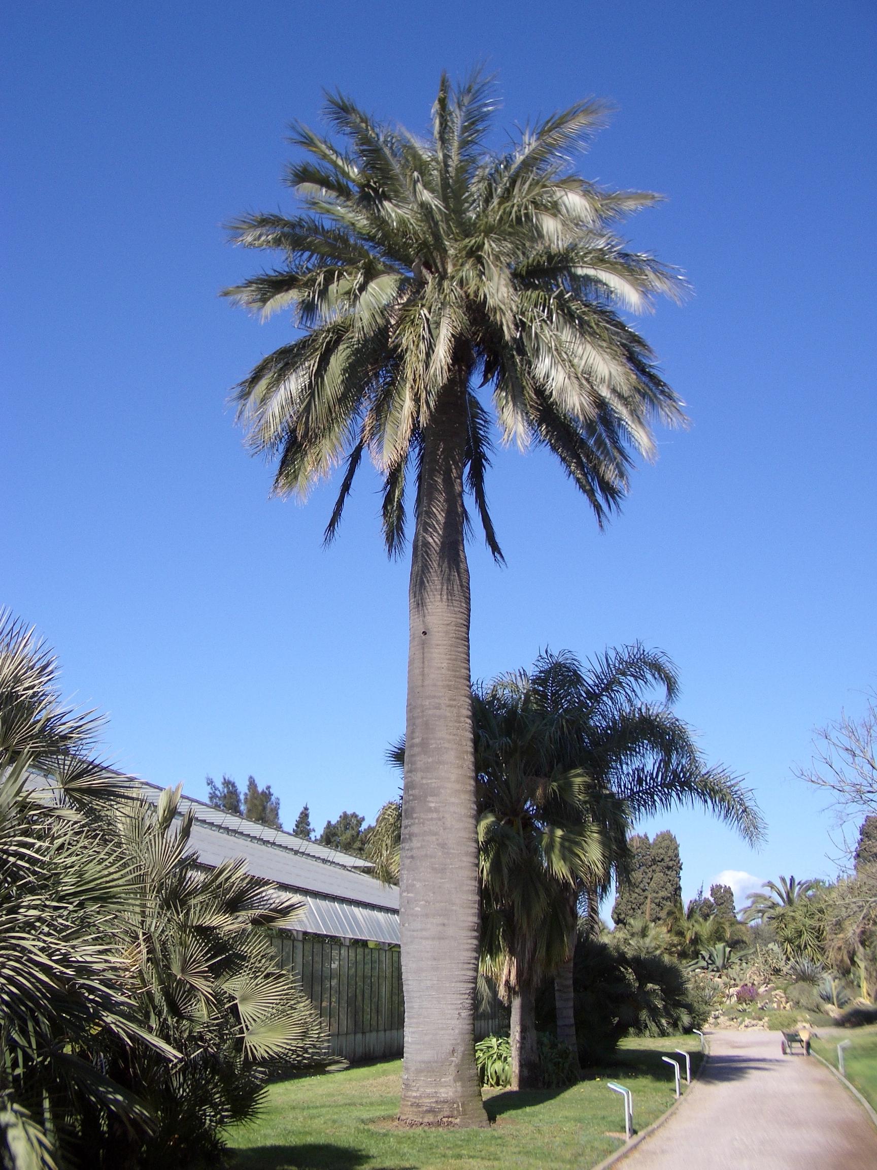 Jubaea wikipedia - Palmier cocotier ...