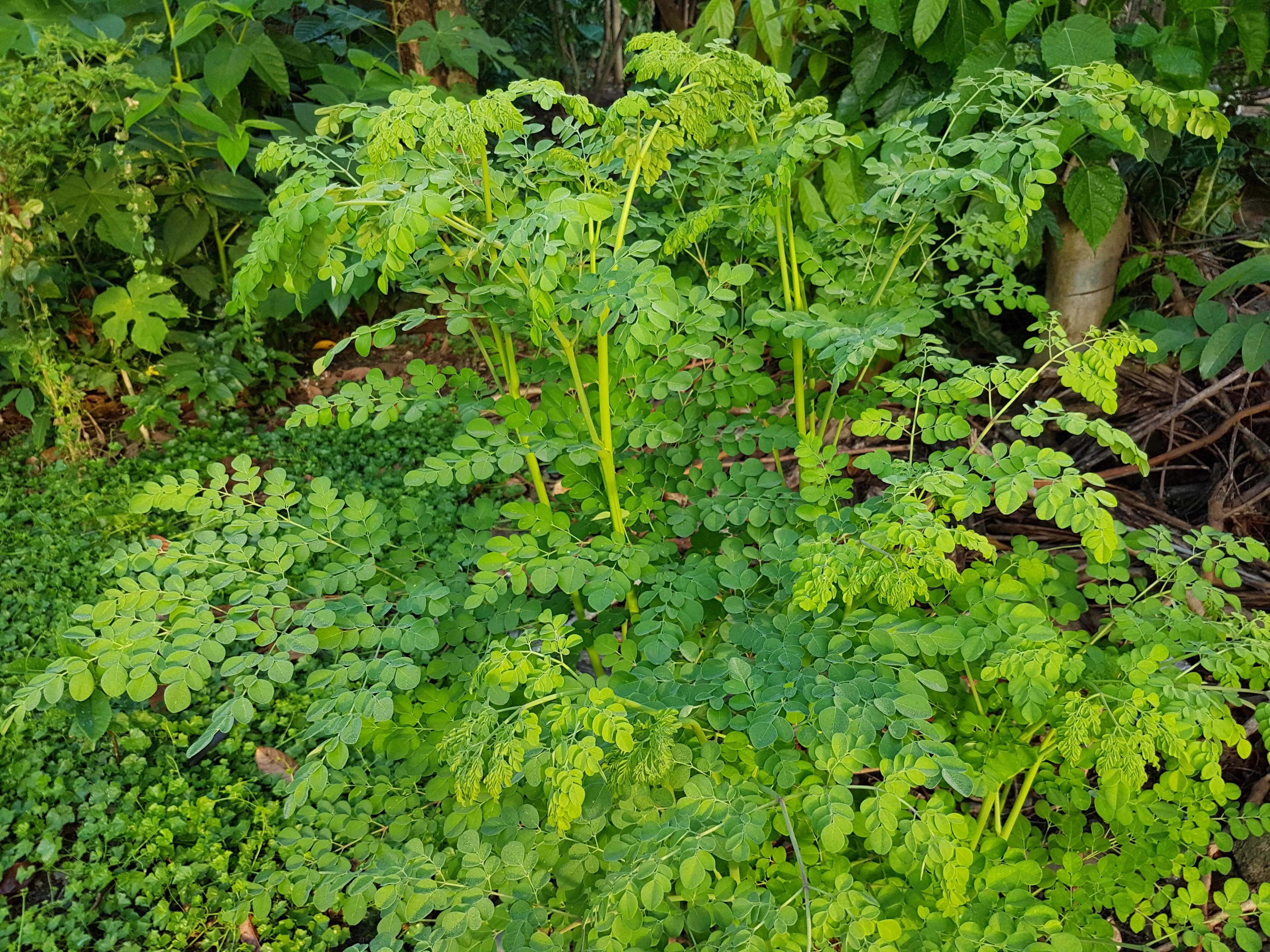File kalamunggay moringa oleifera for Terrace meaning in urdu