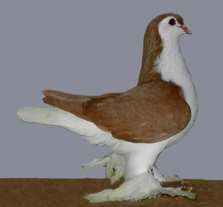 کبوتر سبز Pigeon Encyclopedia