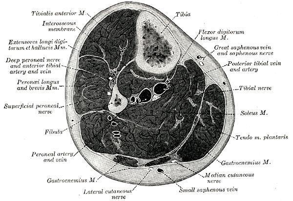 Unterschenkel - Wikiwand