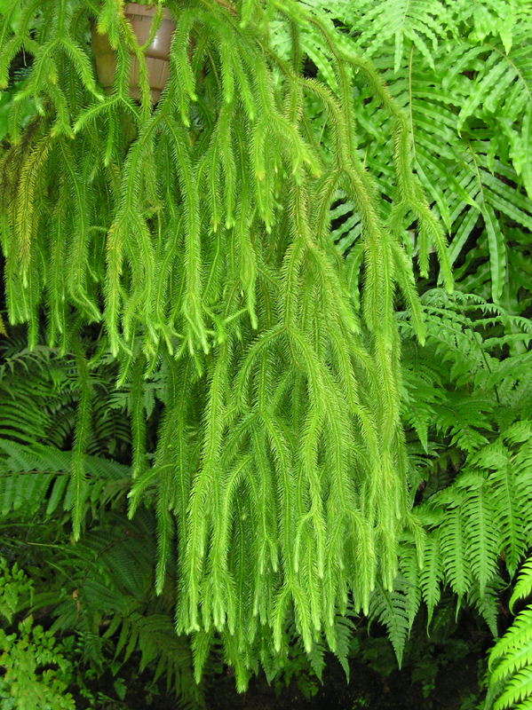 File:lycopodium_squarrosum on Plant Life Cycle Sporophyte