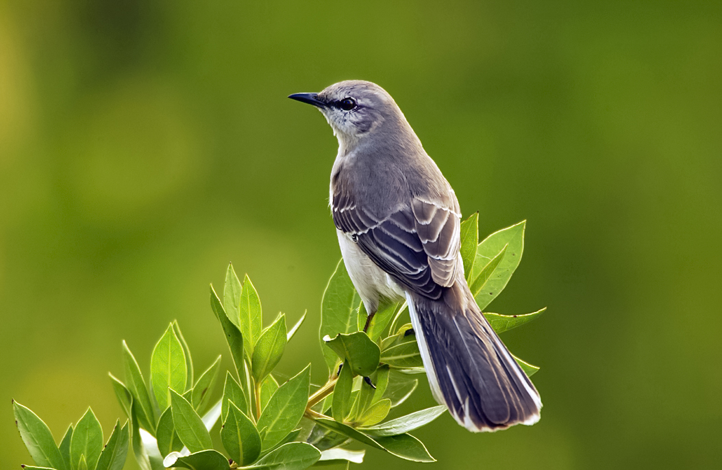 florida_mockingbird