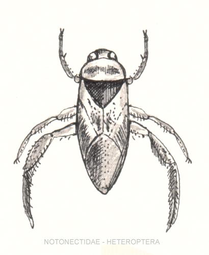 File:Notonectidae-heteroptera.jpg