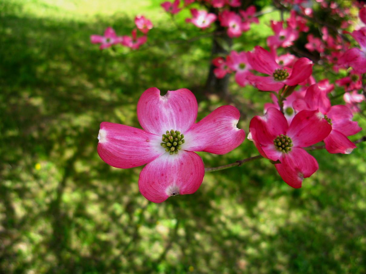 Filepink Dogwood Tree Close Flower Forestwanderg Wikimedia Commons