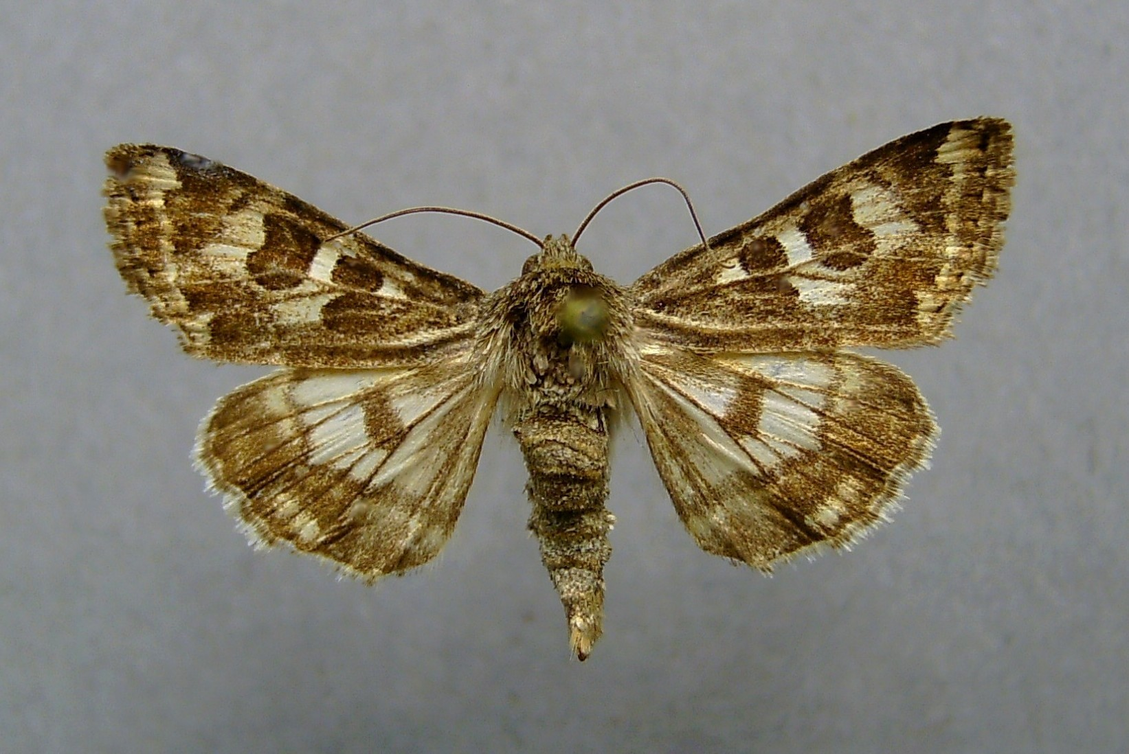 Spotted clover moth