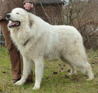 File:Pyrenäen-Berghund Rüde 2,5 Jahre alt.jpg