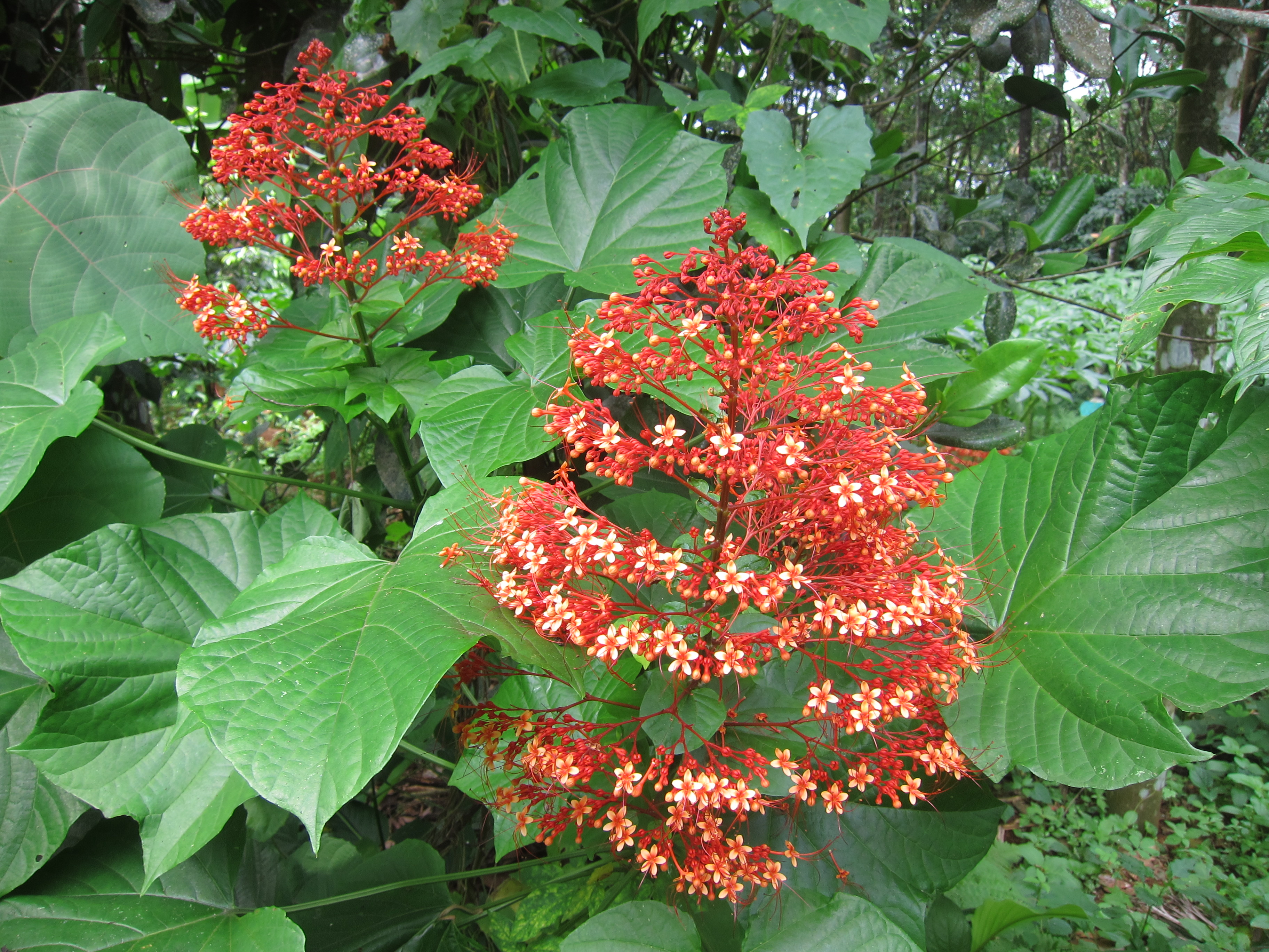 clerodendron