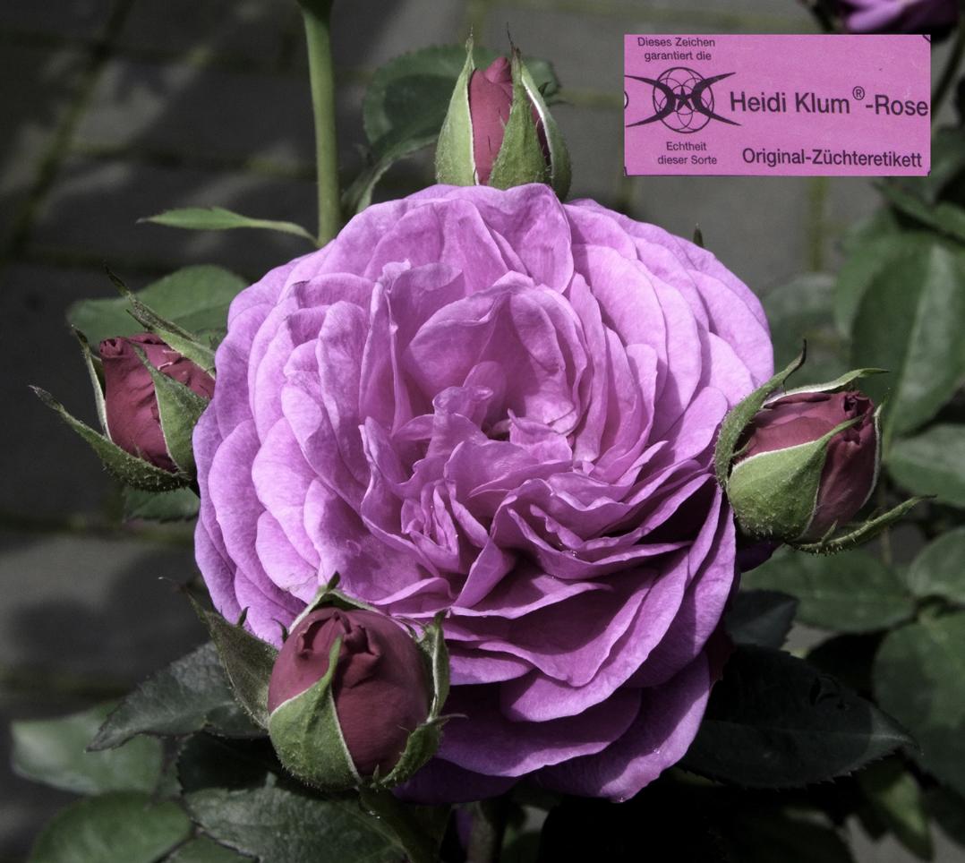 file rosa 39 heidi klum rose 39 jpg wikimedia commons. Black Bedroom Furniture Sets. Home Design Ideas