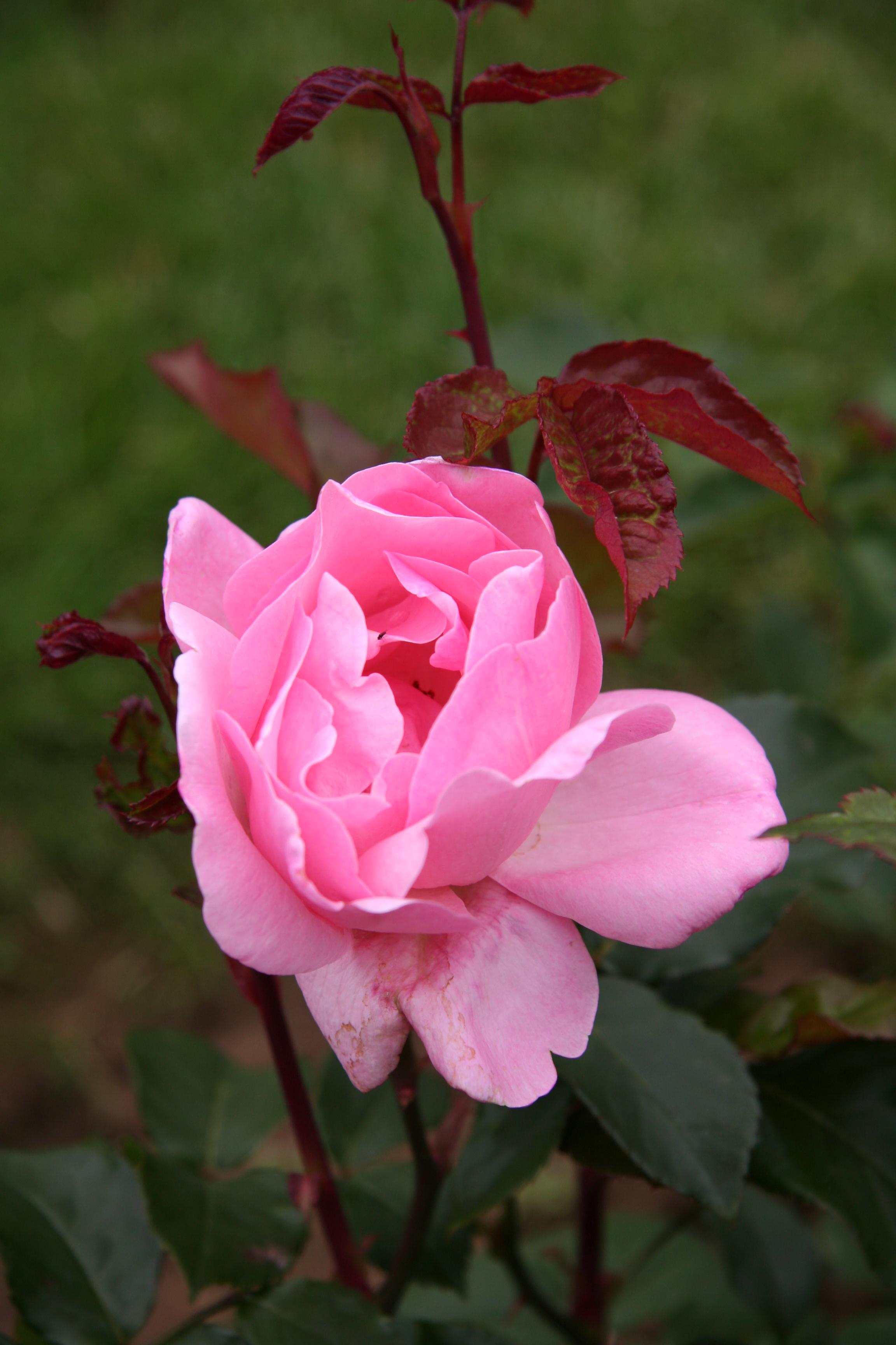 file rose queen elizabeth wikimedia commons. Black Bedroom Furniture Sets. Home Design Ideas