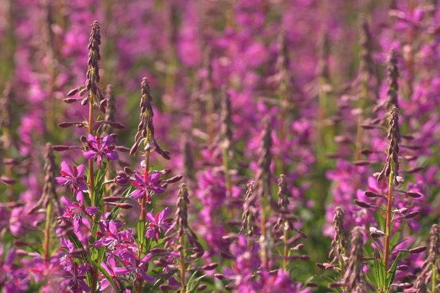 File:Rosebay Willowherb (Epilobium angustifolium), Baltasound - geograph.org.uk - 1379167.jpg